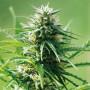 Sweet Tooth Feminised (поштучно) насіння конопель: фото, характеристики, відгуки, опис