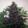 Purple Kush Feminised (поштучно) насіння конопель: фото, характеристики, відгуки, опис