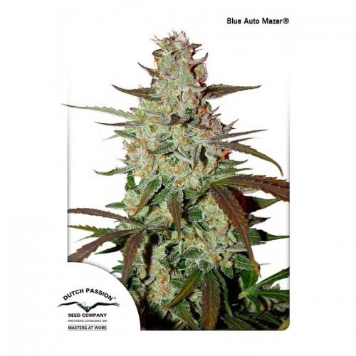 Auto Blue Mazar feminised насіння конопель: фото, характеристики, відгуки, опис