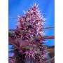 Auto Red Poison Feminised насіння конопель: фото, характеристики, відгуки, опис