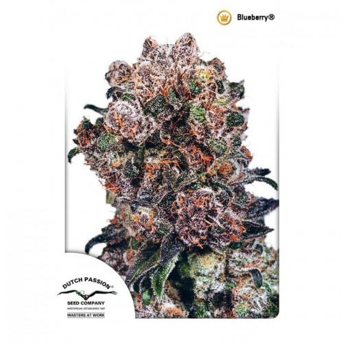 Blueberry feminised насіння конопель: фото, характеристики, відгуки, опис