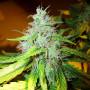 Auto Whiteberry Feminised насіння конопель: фото, характеристики, відгуки, опис
