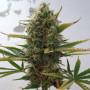 Super Skunk Feminised насіння конопель: фото, характеристики, відгуки, опис