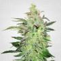 Auto Haze Feminised (поштучно) насіння конопель: фото, характеристики, відгуки, опис