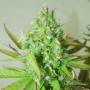 Auto Sweet Tooth Feminised (поштучно) насіння конопель: фото, характеристики, відгуки, опис