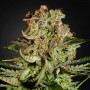 Auto Super Bud Feminised (поштучно) насіння конопель: фото, характеристики, відгуки, опис