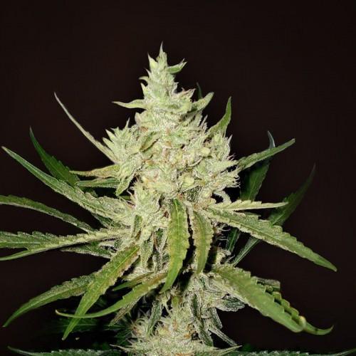 Auto Amnesia Haze Feminised (поштучно) насіння конопель: фото, характеристики, відгуки, опис