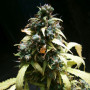 Auto Amnesia Feminised (поштучно) насіння конопель: фото, характеристики, відгуки, опис