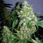Auto Jack Herer Feminised (поштучно) насіння конопель: фото, характеристики, відгуки, опис