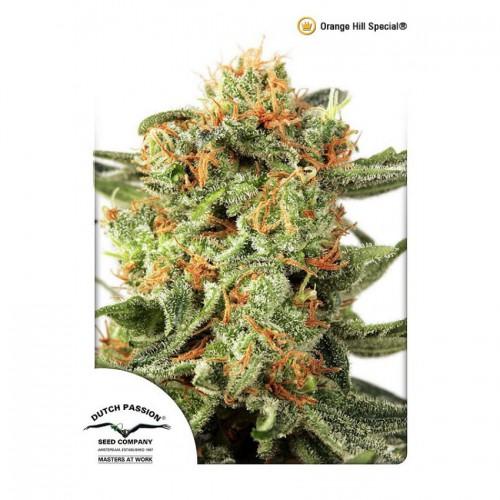 Orange Hill Special feminised насіння конопель: фото, характеристики, відгуки, опис