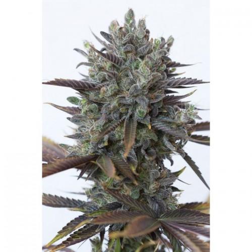 Purple Orange CBD Feminised насіння конопель: фото, характеристики, відгуки, опис