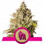 Royal Gorilla Feminised насіння конопель: фото, характеристики, відгуки, опис