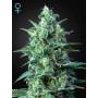 Auto White Widow CBD Feminised насіння конопель: фото, характеристики, відгуки, опис