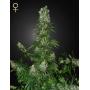 White Strawberry Skunk Feminised насіння конопель: фото, характеристики, відгуки, опис