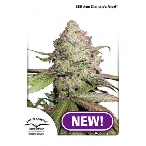 CBD Charlotte's Angel feminised насіння конопель: фото, характеристики, відгуки, опис