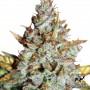 Auto Blueberry Feminised насіння конопель: фото, характеристики, відгуки, опис