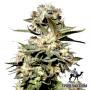 Auto Somango насіння конопель: фото, характеристики, відгуки, опис