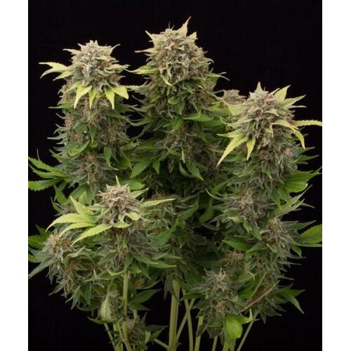 Auto Cheese Monster Feminised насіння конопель: фото, характеристики, відгуки, опис