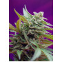 Auto Black Jacker Feminised насіння конопель: фото, характеристики, відгуки, опис