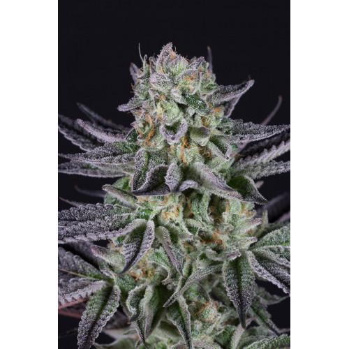 Blueberry Cake Feminised насіння конопель: фото, характеристики, відгуки, опис