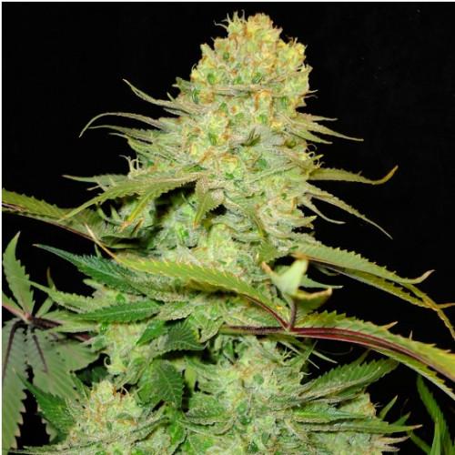 Cheese Monster Feminised насіння конопель: фото, характеристики, відгуки, опис