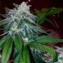 Diesel Cookie Feminised насіння конопель: фото, характеристики, відгуки, опис