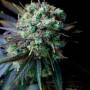Auto Marley R.I.R. Feminised насіння конопель: фото, характеристики, відгуки, опис