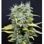 Hashmaker Feminised насіння конопель: фото, характеристики, відгуки, опис