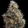 Headshot Feminised насіння конопель: фото, характеристики, відгуки, опис