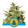 Auto Stress Killer CBD Feminised насіння конопель: фото, характеристики, відгуки, опис