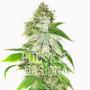 AUTO GREEN RYDER FEMINISED насіння конопель: фото, характеристики, відгуки, опис