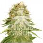 AUTO SOUR CANDY FEMINISED насіння конопель: фото, характеристики, відгуки, опис