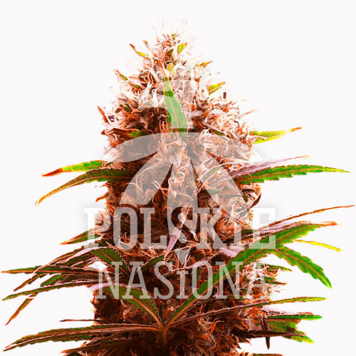 AUTO BLOODY MARY FEMINISED насіння конопель: фото, характеристики, відгуки, опис