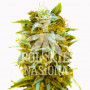 AUTO SPEED JACK FEMINISED насіння конопель: фото, характеристики, відгуки, опис