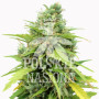 AUTO DOUBLE JOINT FEMINISED семена конопли: фото, характеристики, отзывы, описание