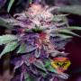 Auto Purple Spain Feminised насіння конопель: фото, характеристики, відгуки, опис
