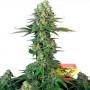 Bubblegum Feminised насіння конопель: фото, характеристики, відгуки, опис