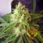 Northern Lights Feminised  насіння конопель: фото, характеристики, відгуки, опис