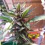 Purple Spain Feminised насіння конопель: фото, характеристики, відгуки, опис