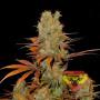 Somango Feminised насіння конопель: фото, характеристики, відгуки, опис