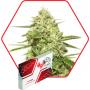 MEDusa Auto Feminised семена конопли: фото, характеристики, отзывы, описание