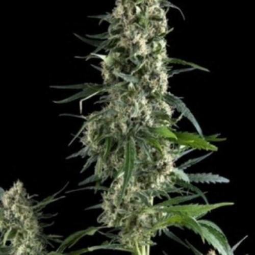 Amnesia Gold Feminised (поштучно) насіння конопель: фото, характеристики, відгуки, опис