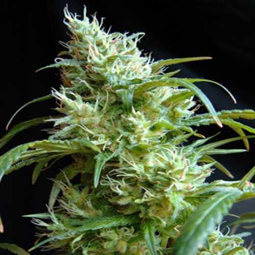 Flash Black #2 Feminised насіння конопель: фото, характеристики, відгуки, опис