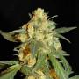 Lowryder #2 Feminised (поштучно) насіння конопель: фото, характеристики, відгуки, опис