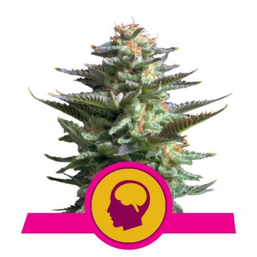Amnesia Haze Feminised насіння конопель: фото, характеристики, відгуки, опис