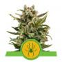 Auto White Widow Feminised насіння конопель: фото, характеристики, відгуки, опис