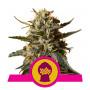 Bubblegum XL Feminised насіння конопель: фото, характеристики, відгуки, опис
