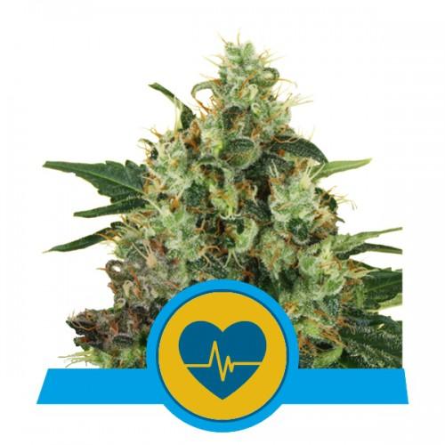 Medical Mass CBD feminised  насіння конопель: фото, характеристики, відгуки, опис