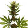 Northern Light Feminised насіння конопель: фото, характеристики, відгуки, опис