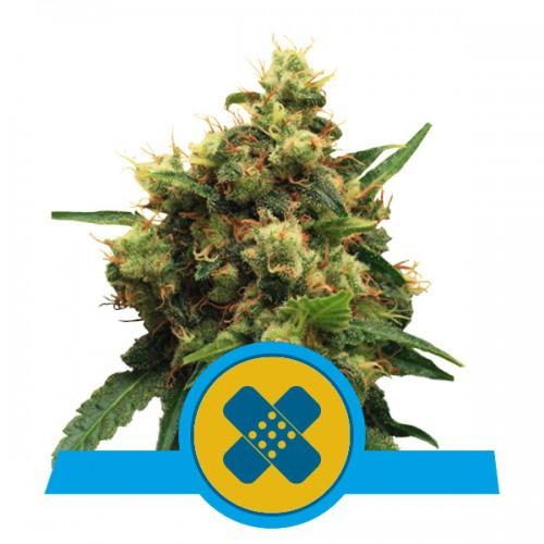Painkiller XL CBD feminised насіння конопель: фото, характеристики, відгуки, опис